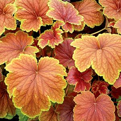 Heuchera x 'Delta Dawn'