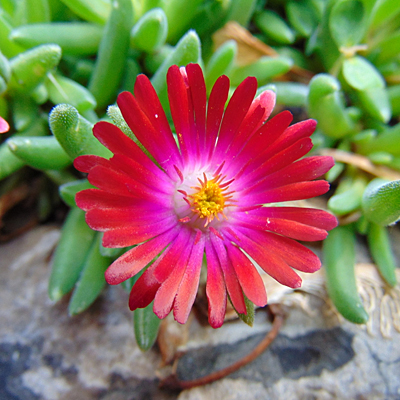 Delosperma cooperi 'Jewel of the Desert Garnet'