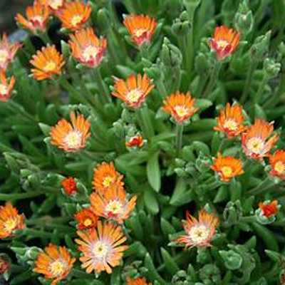 Delosperma cooperi 'Jewel of the Desert Topaz'