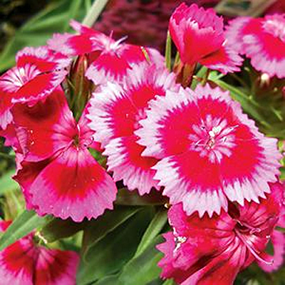 Dianthus b. 'Barbarini Red/Rose Bicolor'
