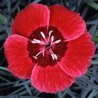Dianthus x 'Eastern Star'