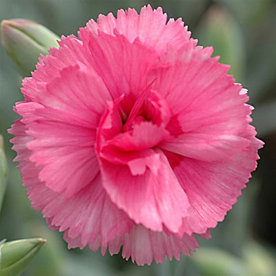 Dianthus x 'Scent First Eternity'