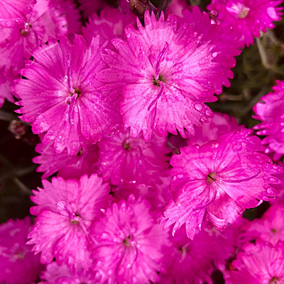 Dianthus g. 'Fire Witch'