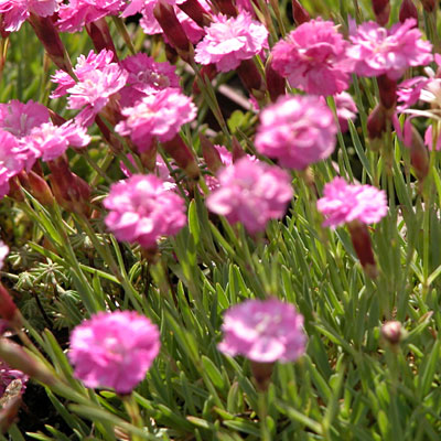 Dianthus g. 'Tiny Rubies'