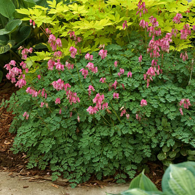 Dicentra x 'King of Hearts'