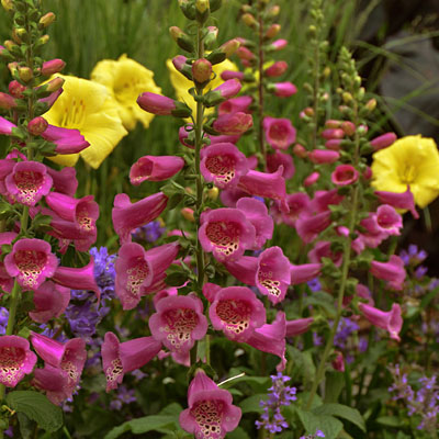 Digitalis p. 'Camelot Rose'