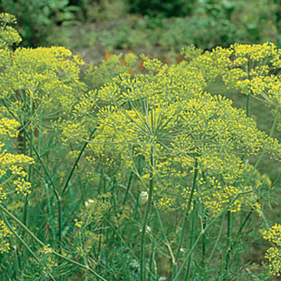 Seeds - OR Dill 'Mammoth'