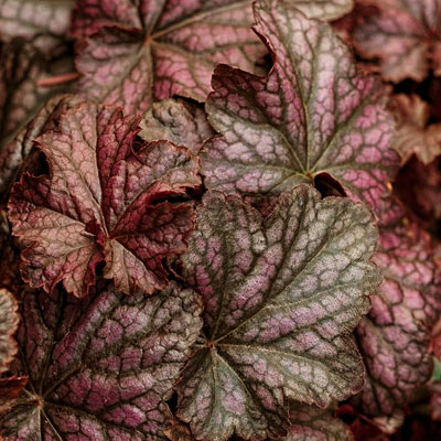 Heuchera x 'Dolce Blackcurrant'