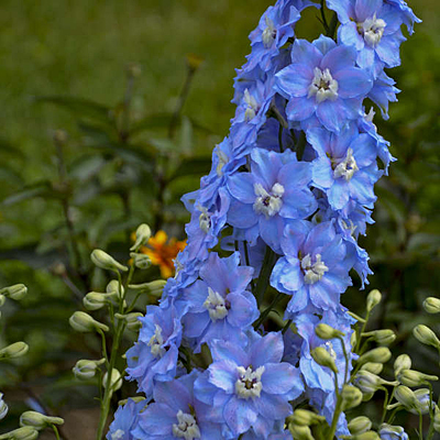 Delphinium elatum 'Million Dollar Sky'