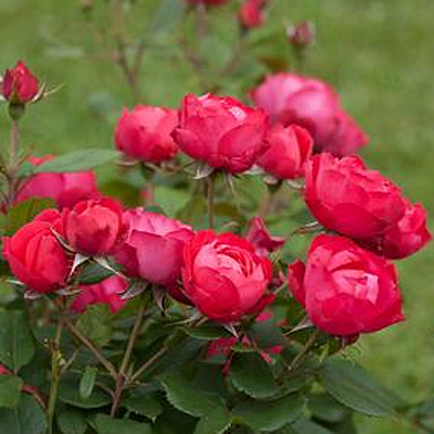 Rosa 'Oso Easy Double Red'