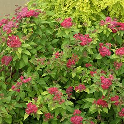 Spiraea j. 'DP Red'