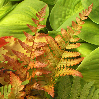 Dryopteris erythrosora 'Brilliance'