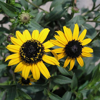 Rudbeckia f. 'Early Bird Gold'