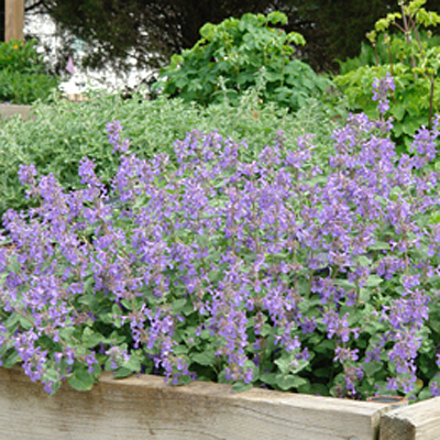 Nepeta x 'Early Bird'