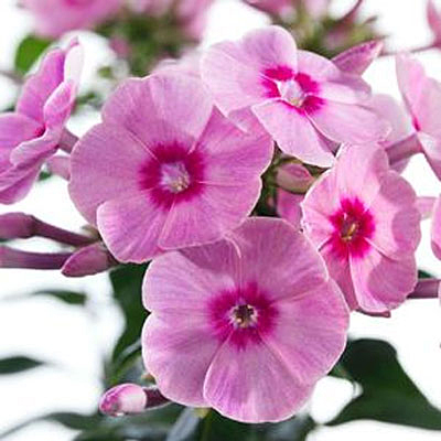 Phlox paniculata 'Early Start Pink'
