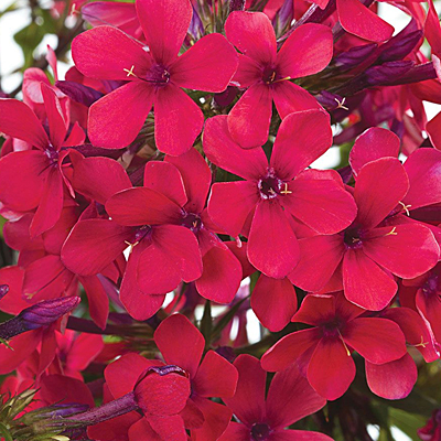 Phlox p. 'Early Red'