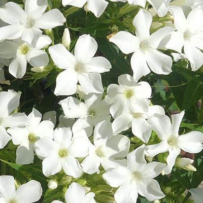 Phlox p. 'Early White'