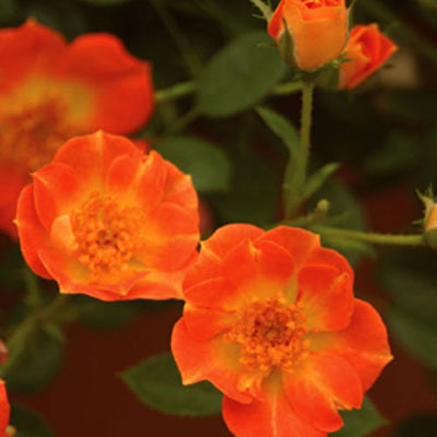 Rosa 'Oso Easy Hot Paprika'