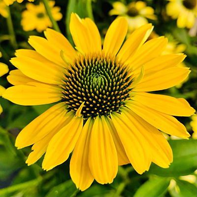 Echinacea x 'Eye-Catcher Canary'