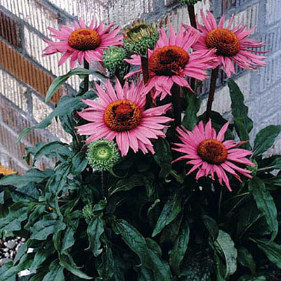 Echinacea purpurea 'Little Giant'