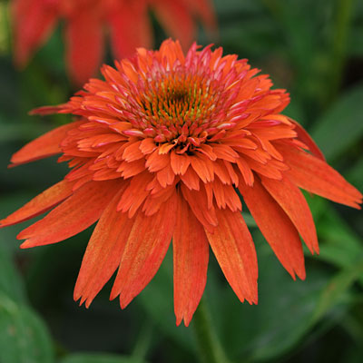 Echinacea purpurea 'Double Scoop Mandarin'