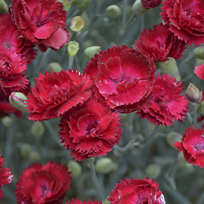 Dianthus x 'Pretty Poppers Electric Red'