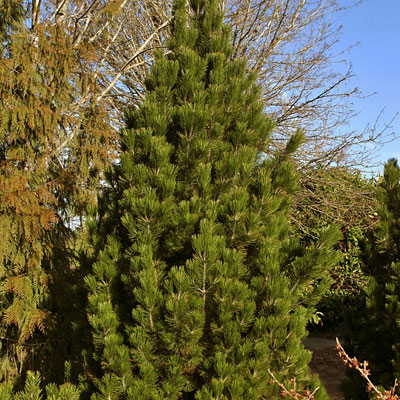 Pinus h. 'Emerald Arrow'