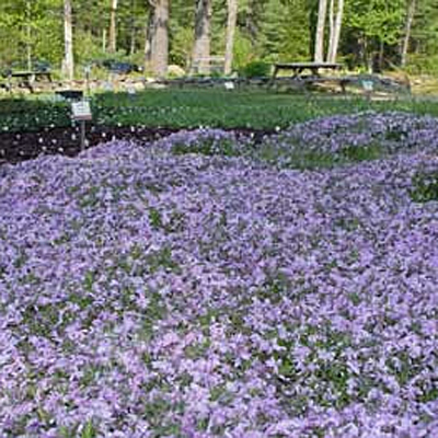 Phlox sub. 'Emerald Cushion Blue'