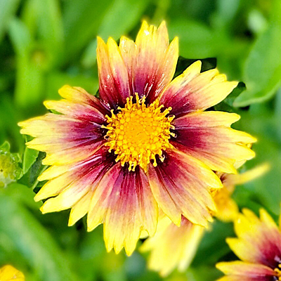 Coreopsis x 'Lil Bang Enchanted Eve'
