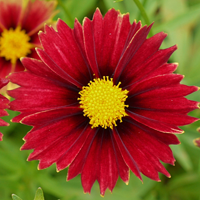 Coreopsis x 'Lil Bang Enchanted Red'