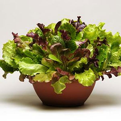 Lettuce 'Endless Summer'
