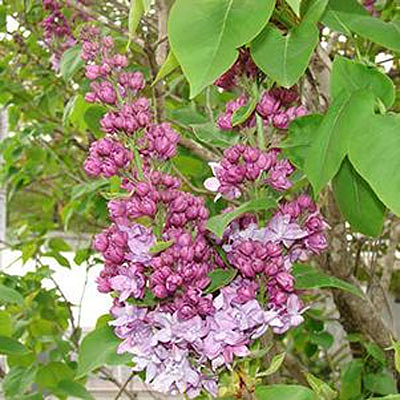 Syringa x 'Equinox Valley'