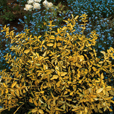 Euonymus fortunei 'Blondy'