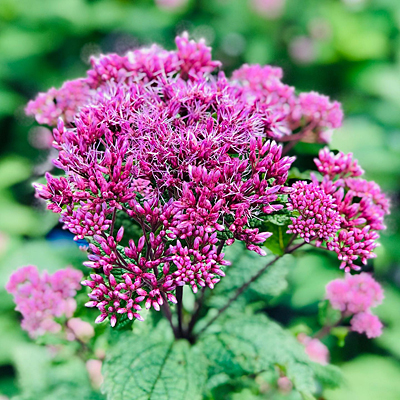 Eupatorium d. 'Little Joe'
