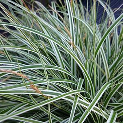 Carex oshimensis 'Evercolor Everest'