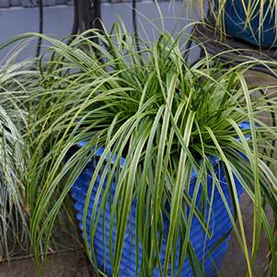 Carex oshimensis 'Evercolor Everlime'