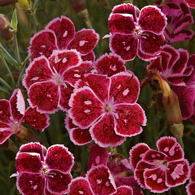 Dianthus x 'Fire and Ice'