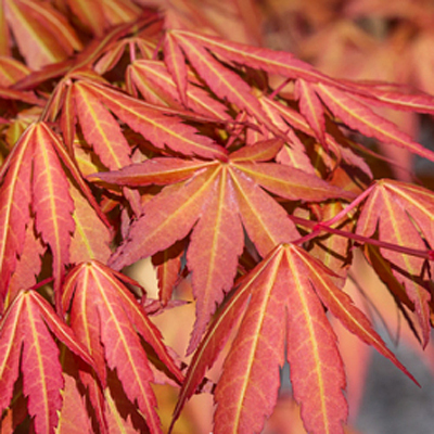 Acer x pseudo. 'First Flame'