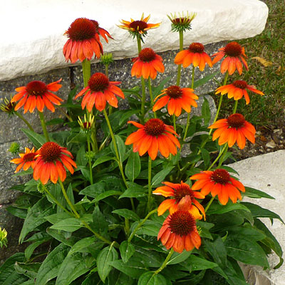 Echinacea purpurea 'Sombrero Flamenco Orange'