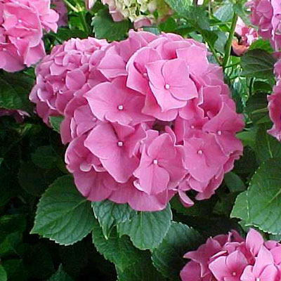 Hydrangea mac. 'Forever Pink'