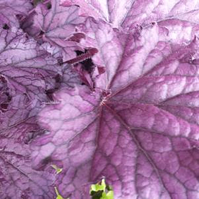 Heuchera x 'Forever Purple'