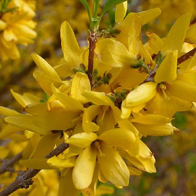 Forsythia x 'Sunrise'