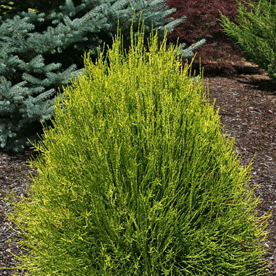 Thuja or. 'Franky Boy'
