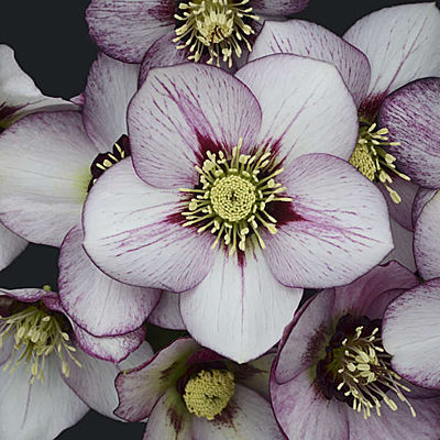 Helleborus x 'French Kiss'