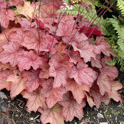 Heuchera x 'Georgia Peach'