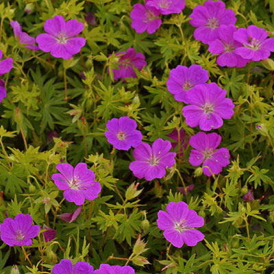 Geranium sang. 'New Hampshire Purple'