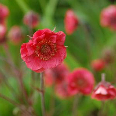 Geum x 'Flames of Passion'