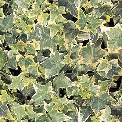 Hedera helix 'Gold Child'