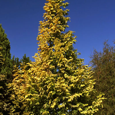 Metasequoia g. 'Gold Rush'