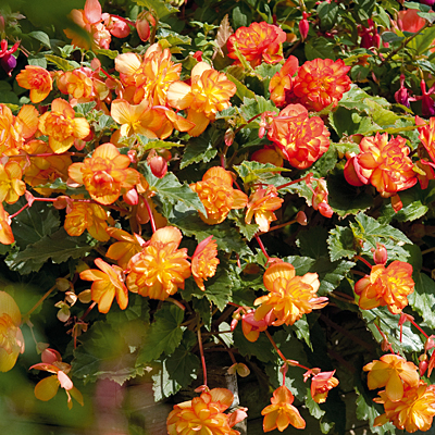 Begonia 'Illumination Golden Picotee'
